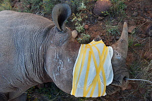 Desert Black rhinoceros (Diceros bicornis) captured for relocation to Addo Elephant Park in Eastern Cape. Great Karoo, South Africa.  -  Pete Oxford