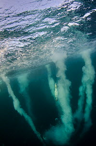 Cape gannet underwater (Morus capensis) feeding on sardine run, Eastern Cape, South Africa.Vulnerable. Endemic to Southern Africa  -  Pete Oxford