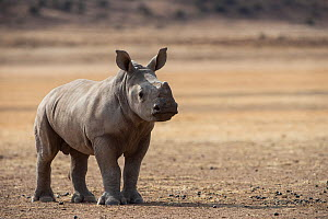 White rhinoceros calf (Ceratotherium simum) Great Karoo. Private Reserve, South Africa. Endangered species - Pete Oxford