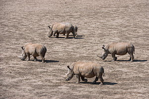 White rhinoceros (Ceratotherium simum) herd with calf,  Great Karoo. Private Reserve, South Africa. Endangered species - Pete Oxford