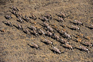 Aerial view of herd of Gemsbok (Oryx gazella) on private game ranch. Great Karoo, South Africa  -  Pete Oxford