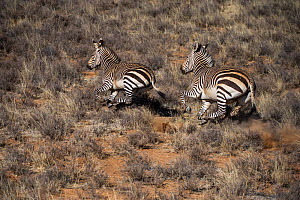 Hartmann's mountain zebra (Equus zebra hartmannae) on private game ranch. Great Karoo, South Africa  -  Pete Oxford