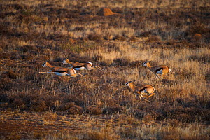 Springbok (Antidorcas marsupialis) group running, private game ranch. Great Karoo, South Africa  -  Pete Oxford