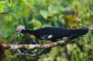 Blue-throated piping guan (Pipile cumanensis) Yasuni National Park, Amazon Rainforest, Ecuador, South America. - Pete Oxford