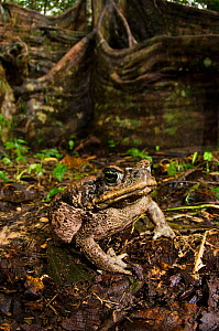 Cane toad (Rhinella marina) Yasuni National Park, Amazon Rainforest, Ecuador, South America.  -  Pete Oxford