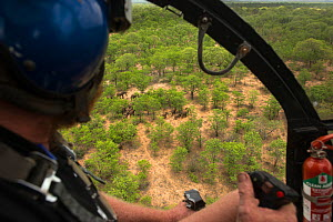 Helicopter pilot flying over Elephant (Loxodonta africana) herd. The Elephants were about to be darted for relocation to the reserve they had escaped from. Zimbabwe, November 2013. - Pete Oxford
