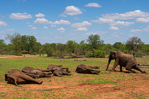 Tranquillised Elephants (Loxodonta africana) waking up after relocation. They had been darted from a helicopter and returned to the reserve they had escaped from. Zimbabwe, November 2013. - Pete Oxford