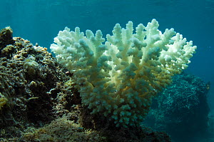 Bleached coral caused by rising water temperature, Fiji, South Pacific. - Pete Oxford