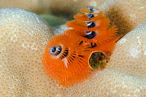 Christmas tree worm (Spirobranchus sp) Fiji, South Pacific.  -  Pete Oxford