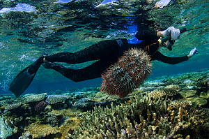 Diver Marlen Zigler controlling population of Crown-of-thorns sea stars (Acanthaster planci) as this species can be very damaging to coral reefs. Koro Island, Fiji, South Pacific, April 2014.  -  Pete Oxford