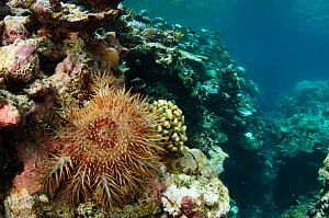 Crown-of-thorns sea star (Acanthaster planci) on coral reef. Koro Island, Fiji, South Pacific.  -  Pete Oxford