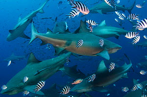 Bull sharks (Carcharhinus leucas) in Beqa (Benga) Lagoon, a reserve where sharks are fed as part of a commercial diving operation. Viti Levu, Fiji, South Pacific.  -  Pete Oxford