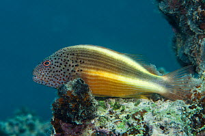 Freckled hawkfish (Paracirrhites forsteri) Rainbow Reef, Fiji, South Pacific.  -  Pete Oxford
