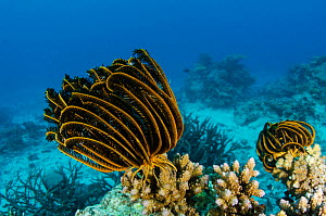Bennett's feather star (Oxycomanthus bennetti) Rainbow Reef, Fiji, South Pacific.  -  Pete Oxford