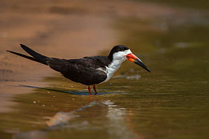Black skimmer (Rynchops niger) at edge of water. Northern Pantanal, Mato Grosso, Brazil. - Pete Oxford