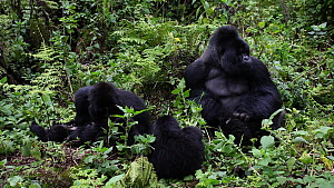 Family of Mountain gorillas (Gorilla gorilla beringei) with a silverback, grooming and looking around, part of the HIrwa Gorilla Group, Volcanoes National Park, Rwanda.  -  Christophe Courteau