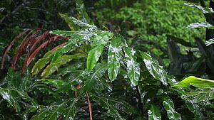 Heavy rain dripping off the tips of rainforest leaves, preventing fungal and bacteria growth, Danum Valley Conservation Area, Sabah, Borneo, Malaysia.  -  Christophe Courteau