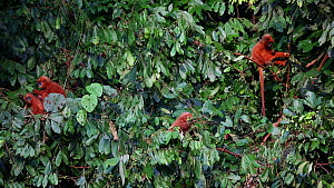 Red leaf monkeys (Presbytis rubicunda) feeding in the canopy, Danum Valley Conservation Area, Sabah, Borneo, Malaysia.  -  Christophe Courteau