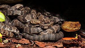 Female Timber rattlesnake (Crotalus horridus) at nest site with newborn young, Pennsylvania, USA, September. - John Cancalosi