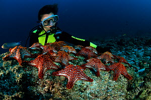 Scuba diver with Panamic cushion seastars (Pentaceraster cumingi) Sea of Cortez, Baja California, Mexico, East Pacific Ocean. - Franco  Banfi