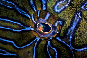 Eye of Giant hawkfish (Cirrhitus rivulatus) Sea of Cortez Baja California, Mexico, East Pacific Ocean. - Franco  Banfi