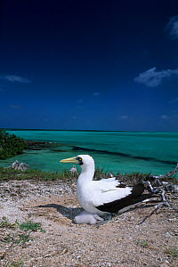 Masked booby (Sula dactylatra) with chick, Aldabra Atoll, Natural World Heritage Site, Seychelles, Indian Ocean. - Franco  Banfi