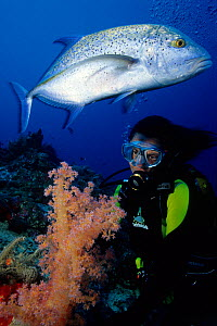 Blue-fin trevally (Caranx melampygus) and scuba diver with soft coral (Dendronephthya), Aldabra Atoll, Natural World Heritage Site, Seychelles, Indian Ocean.  -  Franco  Banfi