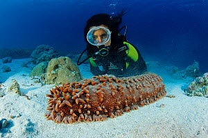 Scuba diver and sea cucumber (Thelenota ananas), Aldabra Atoll, Natural World Heritage Site, Seychelles, Indian Ocean. - Franco  Banfi