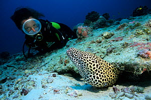Scuba diver with honeycomb moray eel (Gymnothorax favagineus) at burrow, Aldabra Atoll, Natural World Heritage Site, Seychelles, Indian Ocean. - Franco  Banfi