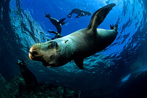 California sea lion (Zalophus californianus), Los Islotes, Sea of Cortez, Baja California peninsula, Mexico, East Pacific Ocean. - Franco  Banfi