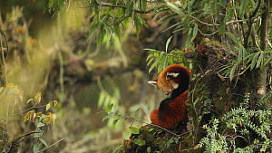 Red panda (Ailurus fulgens) grooming in a tree, Sikkim, India. - Sandesh  Kadur