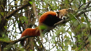 Red panda (Ailurus fulgens) resting in a tree, Sikkim, India. - Sandesh  Kadur