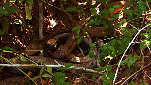 King cobra (Ophiophagus hannah) cannibalism, male swallowing a female, Agumbe, Karnartaka, India. - Sandesh  Kadur