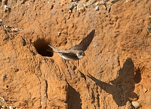 Sand martin (Riparia riparia) leaving nest in cliff, Salthouse, Norfolk, UK, June. - David Tipling