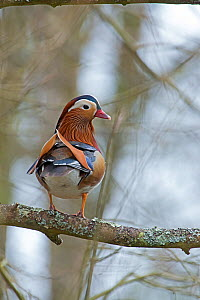 Mandarin duck (Aix galericulata) male on branch, Arundel, UK, April.  -  David Tipling