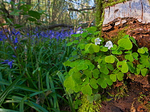 Common wood sorrel (Oxalis acetosella) and Bluebells on woodland floor. Foxley Wood National Nature Reserve, Norfolk, UK, April 2014. - David Tipling