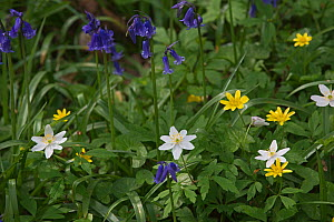 Bluebells (Hyacinthoides non-scripta), Lesser celandine (Ranunculus ficaria) and Greater stitchwort (Stellaria holostea) Foxley Wood, Norfolk, UK, April 2014.  -  David Tipling