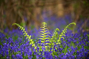Fern growing among Bluebells (Hyacinthoides non-scripta) Foxley Wood, Norfolk, UK, April.  -  David Tipling