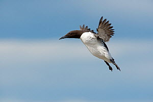 Common guillemot / Common murre (Uria aalge) coming in to land, Inner Farne, Farne Islands, Northumberland, UK, May. - David Tipling