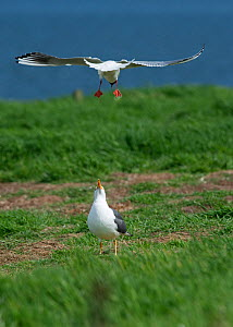 Black-headed gull (Chroicocephalus ridibundus) mobbing Lesser black-backed gull (Larus fuscus) which was attempting to steal eggs from tern colony. Inner Farne, Farne Islands, Northumberland, UK, May. - David Tipling