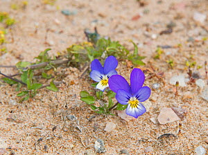Wild pansy (Viola tricolor) growing in sand dune, Sands of Forvie National Nature Reserve, Aberdeenshire, Scotland, June.  -  David Tipling