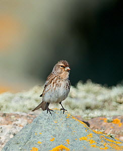Twite (Carduelis flavirostris) perched on rock. Sumburgh Head, Shetland, UK, June.  -  David Tipling