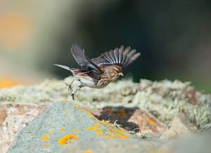 Twite (Carduelis flavirostris) taking off, Sumburgh Head, Shetland, UK, June.  -  David Tipling