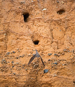 Sand martin (Riparia riparia) leaving nest at colony in sea cliff, North Norfolk, UK, June. - David Tipling