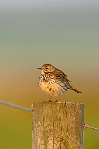 Meadow pipit (Anthus pratensis) perched on fence post, Cley, Norfolk, UK, May.  -  David Tipling