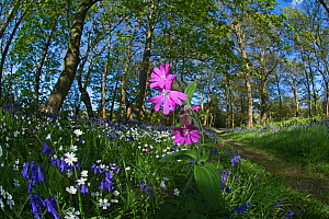 Red campion (Silene dioica) flowering in woodland amongst Bluebells and Greater stitchwort. Thursford Wood, North Norfolk, UK, May.  -  David Tipling