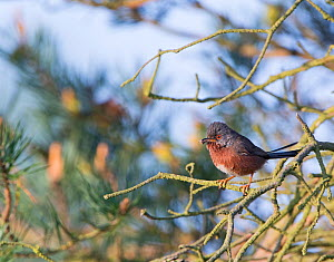 Dartford warbler (Sylvia undata) returning to nest with food, Norfolk, UK, May.  -  David Tipling