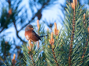 Dartford warbler (Sylvia undata) perched with food in beak, Norfolk, UK, May.  -  David Tipling