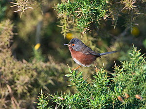 Dartford warbler (Sylvia undata) in Gorse bush, Norfolk, UK, May.  -  David Tipling