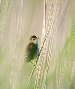 Reed warbler (Acrocephalus scirpaceus) perched, Cley, Norfolk, UK, June. - David Tipling